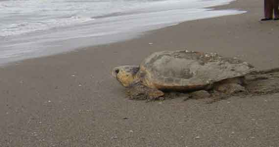 Edisto-Sea-Turtle